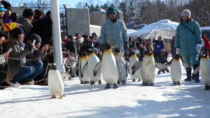 """北海道旭川动物园冬季""""企鹅散步""""活动引围观"""
